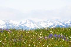 Wildflowers y montañas capsuladas nieve Foto de archivo libre de regalías