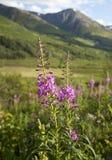 Wildflowers y montañas en Alaska Foto de archivo libre de regalías