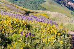 Wildflowers. Yellow and blue wildflowers in full bloom in the mountains Royalty Free Stock Image