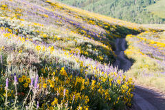 Wildflowers. Yellow and blue wildflowers in full bloom in the mountains Stock Photography