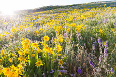Wildflowers. Yellow and blue wildflowers in full bloom in the mountains Royalty Free Stock Images