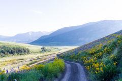 Wildflowers. Yellow and blue wildflowers in full bloom in the mountains Stock Images