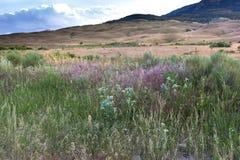 Wildflowers a Yellowstone Immagini Stock