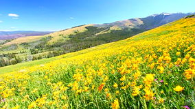 Wildflowers of Yellowstone National Park stock video footage