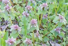 Wildflowers z różowymi górnymi liśćmi w wiośnie, zielona roślina Zdjęcie Royalty Free