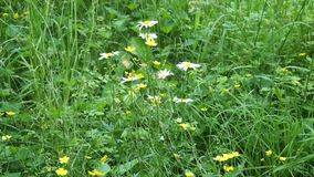 Wildflowers in zomer stock video