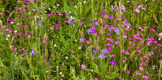 Wildflowersglockenblumen Lizenzfreies Stockbild
