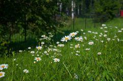 Wildflowerskamille in de zomer Royalty-vrije Stock Afbeeldingen