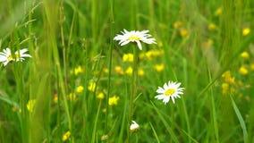 Wildflowerskamille mit den weißen Blumenblättern wächst im dichten grünen Gras in der Wiese an einem sonnigen Sommertag stock footage