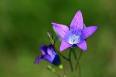 Wildflowersklokken Stock Afbeeldingen