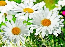 Wildflowersmadeliefjes Royalty-vrije Stock Foto's