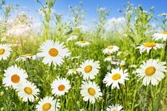 Wildflowersmadeliefjes Stock Fotografie
