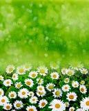 Wildflowersmadeliefjes Stock Afbeeldingen