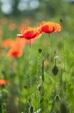 Wildflowersrotmohnblumen stockfotos