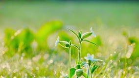 Wildflowersslingering in de wind vroeg in de ochtend stock videobeelden