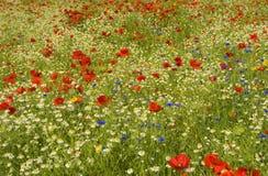 Wildflowerweide Royalty-vrije Stock Afbeeldingen