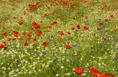 Wildflowerwiese Lizenzfreie Stockbilder