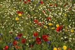 Wildflowerwiese Stockbilder