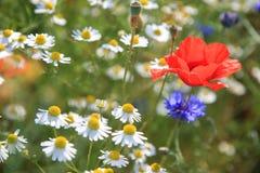 Wildflowerwiese mit Mohnblumengänseblümchen und -Kornblumen Lizenzfreie Stockfotos