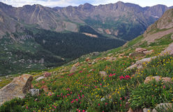 Wildflowes i Rocky Mountains Royaltyfri Bild