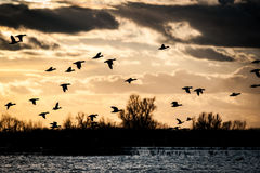 Wildfowl against the sunset. Flying wigeon against a later winter afternoon sunset Stock Images