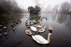 Wildfowl on a frozen pond. Flock of wildfowl on a frozen pond waiting for food Stock Photo