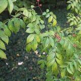Wildfrüchte im Herbst am botanischen Garten Stockfoto