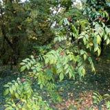 Wildfrüchte im Herbst am botanischen Garten Lizenzfreie Stockfotos