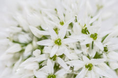 Wildgarlic background Royalty Free Stock Images
