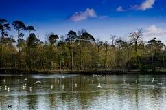 Wildgeflügel auf See Stockbilder
