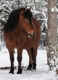 Wildhorse dans Lojsta Hed, Suède Images stock