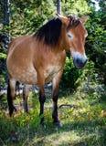 Wildhorse dans Lojsta Hed, Suède Photographie stock libre de droits