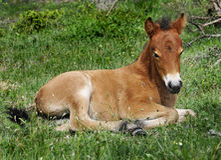 Wildhorse-foal in Lojsta Hed, Svezia Immagine Stock Libera da Diritti