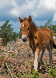 Wildhorse-foal in Lojsta Hed, Sweden. Portrait of a wildhorse-foal in Lojsta Hed, Sweden Royalty Free Stock Images