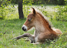 Wildhorse-foal in Lojsta Hed, Sweden. Portrait of a wildhorse-foal in Lojsta Hed, Sweden Royalty Free Stock Photos