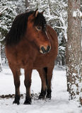 Wildhorse in Lojsta Hed, Sweden Stock Images