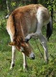 Wildhorse-poulinez dans Lojsta Hed, Suède Photographie stock libre de droits
