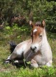 Wildhorse-poulinez dans Lojsta Hed, Suède Photos stock