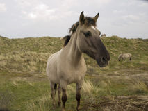 Wildhorses. Wild horses in the dutch dunes Royalty Free Stock Photo