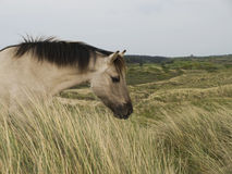 Wildhorses. Wild horses in the dutch dunes Stock Photo