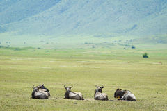 Wildiebeest in Ngorongoro Royalty Free Stock Image