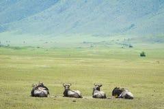 Wildiebeest in Ngorongoro Royalty Free Stock Image
