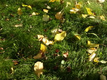 Wildings Apples and yellow leaves on the green grass. In partial shade Stock Photo