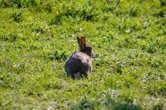 Wildkaninchen auf einer Wiese in Süd-England lizenzfreie stockfotos
