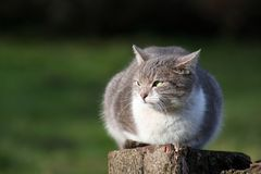 Wildkatze stockbilder