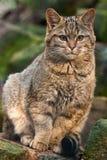 wildkatze Royaltyfri Bild