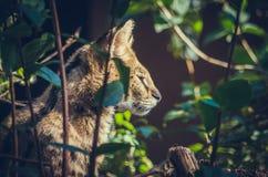 Wildkatze auf Jagd lizenzfreie stockfotografie