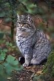 Wildkatze in der Natur Lizenzfreies Stockbild