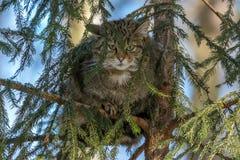 Wildkatze, die auf dem gezierten Baum im Wald stillsteht Lizenzfreie Stockbilder