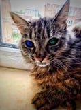 Wildkatze, die das Fenster mit köstlich schönen Augen sitzt stockbild